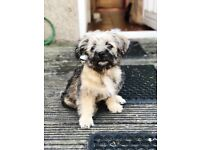 13 week old Kashon for sale Teddy Bear Puppy