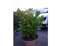 Garden plants, strawbery and goosberry plants, evergreens, palm trees, shrubs, rockery plants