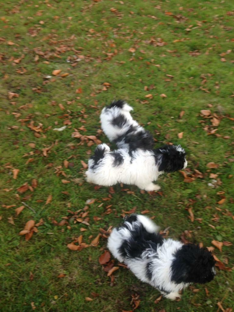 Gorgeous teddy bear puppies for sale | in Coalisland, County Tyrone |  Gumtree