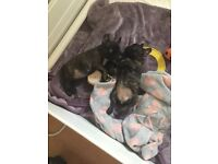 french bulldog puppies 2 girls