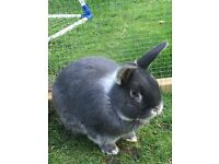 10 month old rabbit looking for loving home