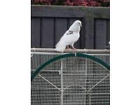 Birmingham Roller pigeon each £10