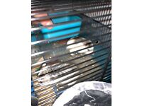 2 cute Dwarf roborovski hamsters +cage and toys