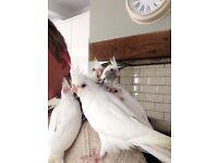 Hand Reared baby Cockatiel