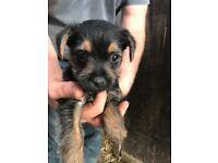 3/4 border terrier 1/4 Lakeland pups for sale