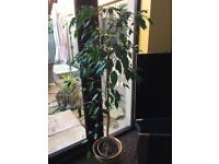 Real weeping fig plant