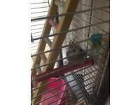 Budgie cockatiel and cage