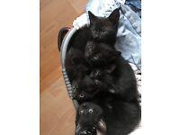 Gorgeous, cuddly all black fur babies