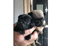 Beautiful pug puppies
