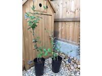 Honeysuckle plant