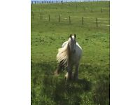14.3 white and grey cob gelding 7yrs