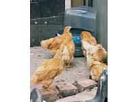 Warren chicks