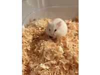 Baby Albino Russian Campbell Hamster white