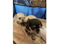 Beautiful chiuahua pups