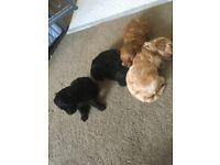 Yorkipoo F1B puppies
