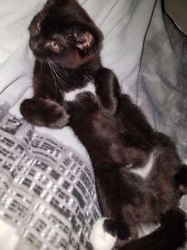 5 month old male kitten x British shorthair