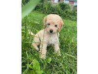 Lovely boy Toy Poodle
