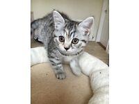 Beautiful black silver spotty British Shorthair Kitten - ready now
