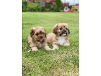 Lhasalier Pups