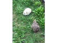 2 cutest guinea pigs plus their hutch for sals