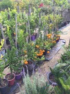 New Citrus and Olive Trees all grafted in pots