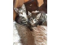 Two British and two black kittens for sale in Chigwell