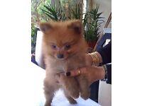 Pure Pedigree Pomeranian Male Puppy