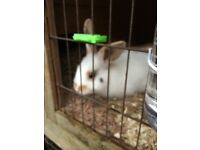 Gorgeous little boy rabbit - 1 years old. He needs a lovely new home