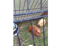 Babie guinea pigs