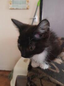 Dollface persian cross kittens