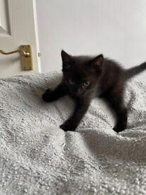 Beutful miniature kitten