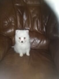 full breed pomeranain puppy