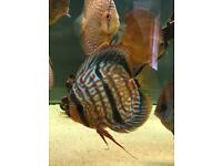 Discus heckle cross female 6 + inches
