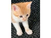 Ginger Kitten for sale £400