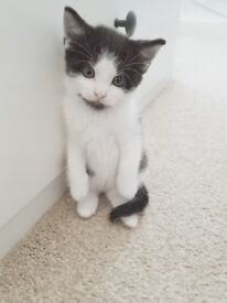 Beautiful 8 week old Black & White (Tuxedo) Kittys with with starter kit and info (Bromley)