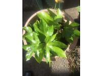 Fatsia Japonica evergreen