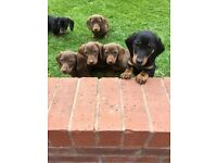 Dachshund puppy's for sale