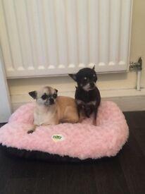 KC Chihuahuas