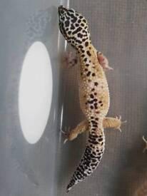 Female Leopard Geckos
