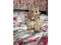 Beautiful female cavapoo puppy for sale