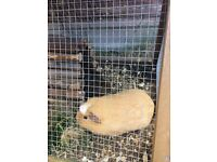 2 x Guinea Pigs and cage free to collect