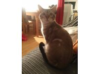 Seal Marble Bengal 10months