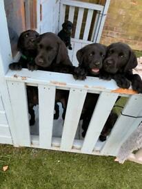 kc registered labrador retriever ready wednesday