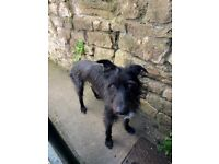 3 yr old Long Haired Lurcher