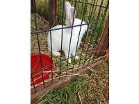 White Dwarf rabbits - last few remaining