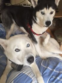 Re homing needed for male and female Siberian huskies