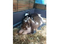 2 lop ear rabbits with large 2 tier hutch and run