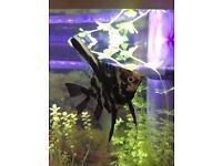 Marbled Angel Fish