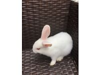 White baby rabbit for sale.