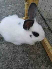 Baby rabbit 10 weeks old
